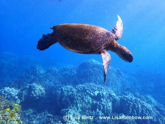 Schildkrötte Meer Hawaii Lisa Biritz