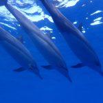 Freie delfine auf Hawaii